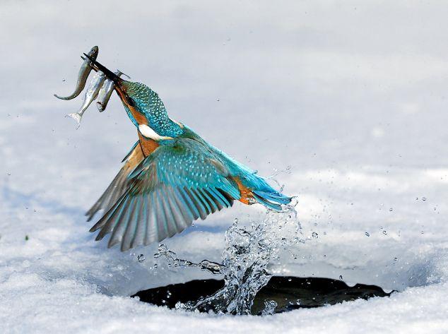 Kingfisher grabs 3!